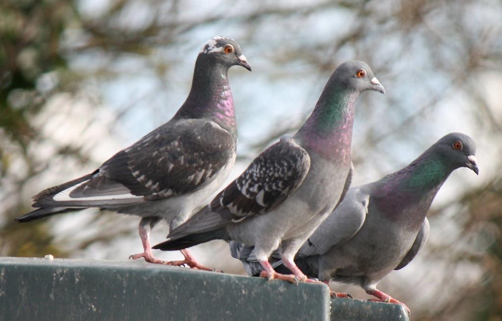 bird-control-sydney